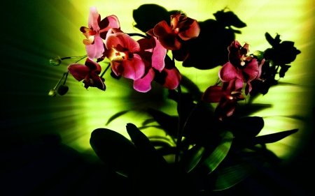orchid dry green - flower, sun, green, orchid