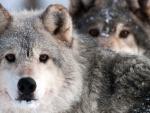 Alfa Wolfs