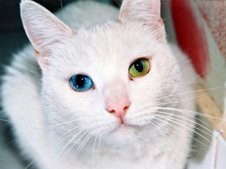 *White Kitty* - white cat, green eyes, adorable, animal, innocent, kitty cat, beauty, blue eyes, animals, kitty, unique, pets, loving, cat, feline, gaze, meow, eyes, cats, white