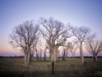Boab trees The Kimberley Western Australia