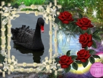 Black swain