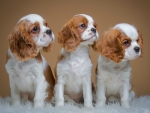 Trio Puppies