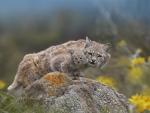 Lynx in Spring