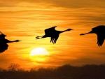 Nebraska's Sandhill Cranes