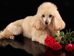 dog and red roses