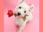 ~ ♥ღ Red Rose for You ღ♥ ~
