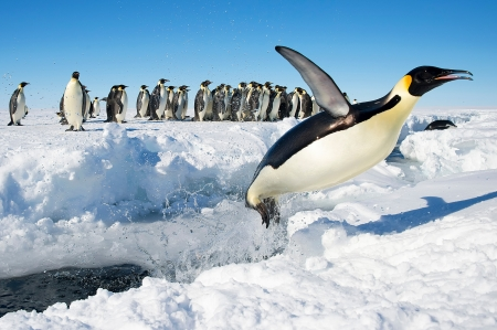AHHHH!! The water is chilli guys..... - ice, water, south pole, pinguins