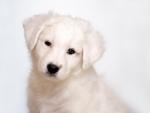 Sweet White Puppy