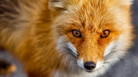 Red Fox Closeup F - photo, beautiful, canine, animal, pet, photography, fox, wide screen, dog