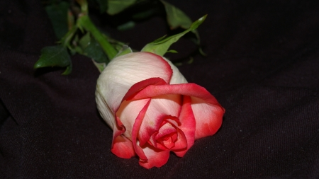 Cream Rosebud F - photo, romance, Rose, beautiful, floral, still life, photography, love, wide screen, flower, beauty