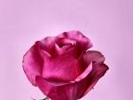 Dark Pink Rosebud
