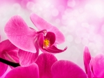 PINK SPA ORCHID