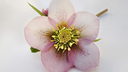 Hellebore Flower  - photo, romance, beautiful, floral, still life, Helleborus, photography, love, wide screen, flower, beauty