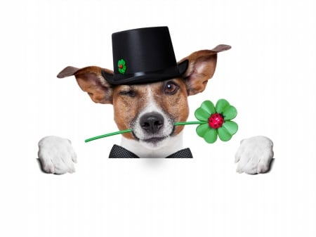 Lucky dog - black, animal, hat, card, cute, jack russel terrier, green, clover, trefoil, funny, white, lucky, st patrick, puppy