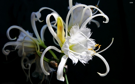 White Lily - lily, flower, mud, white
