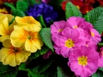 Colorful primrose