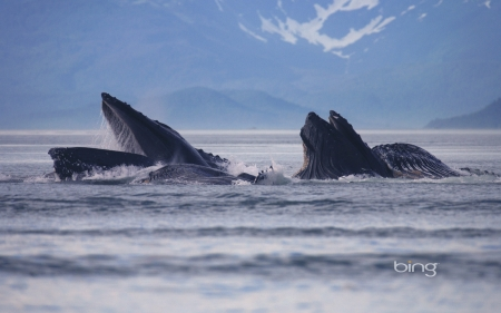 Hump Back Whales - Whales, Back, Wallpaper, Hump