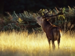 Autumn Red Deer