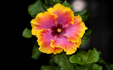 Beautiful Hibiscus - flowers, nature, two colors, hibiscus