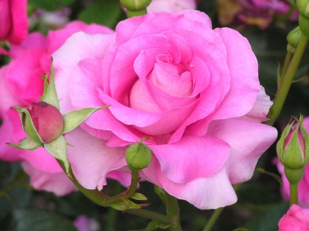 Hybrid Tea Roses - purple, flowers, nature, petals, roses, two colors