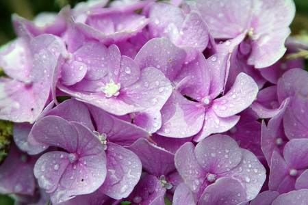 Hydrangeas! - flowers, nature, hydrangeas, purple