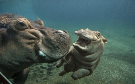 Baby Hippo - Hippo, water, swim, animal