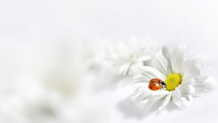 Kiss of a Ladybug - wild flowers, spring, ladybug, summer, chamomile, flowers, simple, white, Firefox Persona theme, daisy
