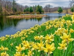 Daffodils at the lake