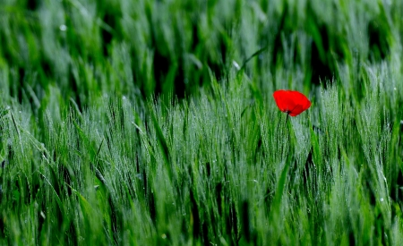 Poppy - grass, poppy, flowers, spring, nature