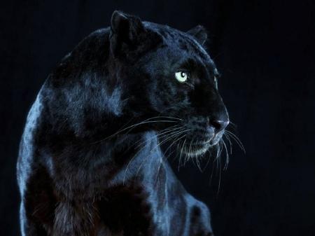 A Black Beauty Cats Animals Background Wallpapers On Desktop Nexus Image 2104201