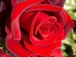 A Classic Red Rose♥