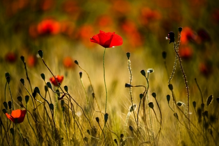 Poppies - summer time, bokeh, flowers field, poppies, summer, flowers, nature