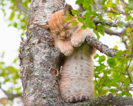 Lynx - sleep, paw, cat, animal, tree, green, ras, funny, lynx