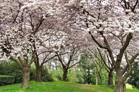 Blossoms - spring, blossom, trees, pink