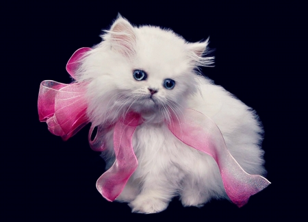 Persian kitten - black, bow, gift, cat, animal, sweet, barb, cute, persian, kitten, white, pink, pisica