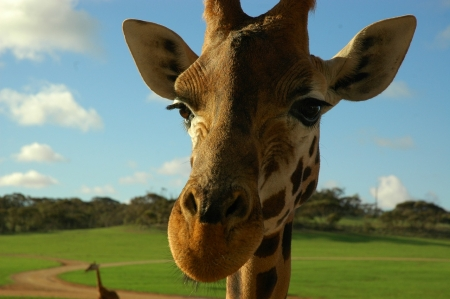 Giraffe - Giraffe, head, macro, nature, animal, africa