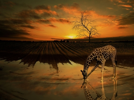 Giraffe at sunset - Africa, water, sunset, Giraffe, animal, drinking, nature