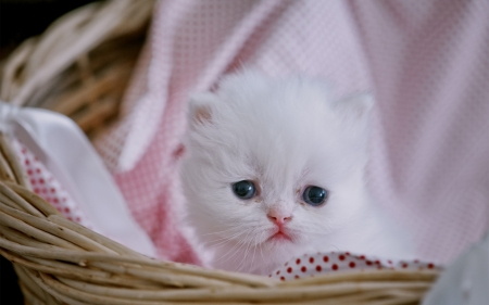 Persian kitten - cat, animal, sweet, cute, persian, basket, kitten, white, pink, pisica