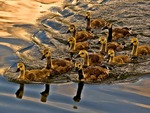 Goslings All In A Row