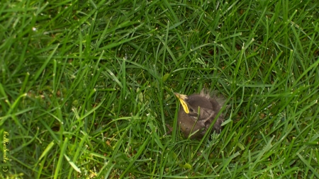Baby Bird in the Grass - fow1, bird, green, grass, birdy, baby bird, birdie