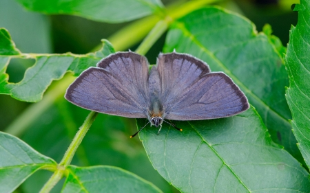 Gray Hairstreak - leaves, green, animal, insects, gray, butterfly