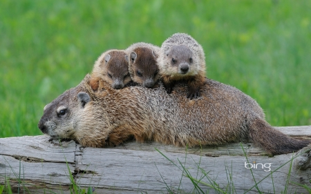 Ground Hog Mom With Babies - Mom, Ground, with, Hog, babies
