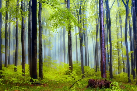 Spring forest - forest, grass, greenery, beautiful, spring, trees, branches, mist
