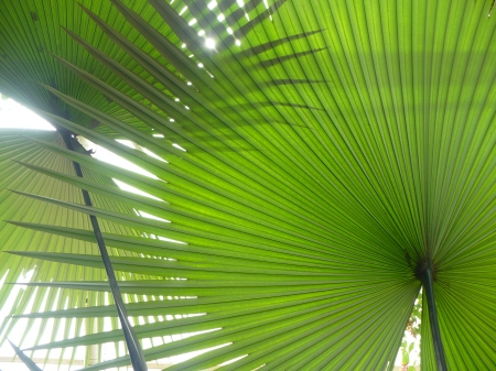 palm - big leaves, leaves, palm leaves, green palm, green, palm