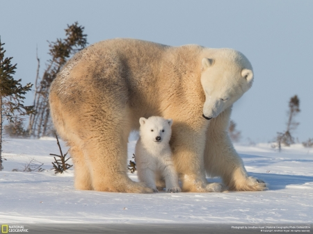 Polar Bears - arctic, cold, Polar Bears, snow, ice, National Geographic, mama, baba, animals