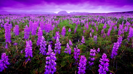Image result for wallpaper field of purple flowers