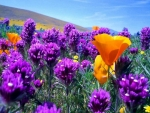 Field of purple flowers and yellow poppies