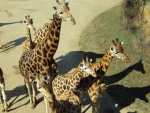Herd of Giraffes