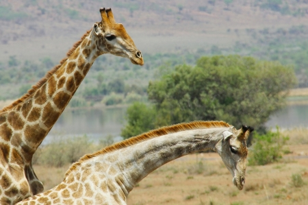Giraffes - nature, giraffes, animals, africa