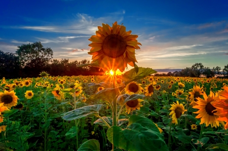 Sunflowers Field At Sunrise